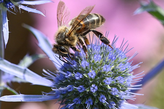 Abeille sur un Panicaut  –  Bee on an Eryngium (Sea Holly)