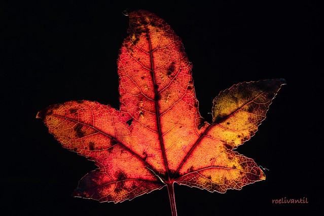 Maple leaf colors red