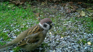 Põldvarblane / Passer montanus / Eurasian tree sparrow / Pikkuvarpunen / Feldsperling / Полевой воробей / Lauku zvirbulis / Pilfink