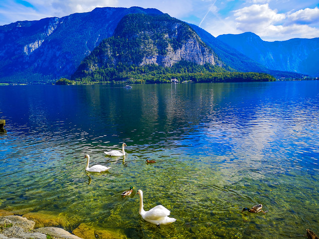 The swans enjoying their habitat Lake Hallstatt in Salzkammergut, Austria.