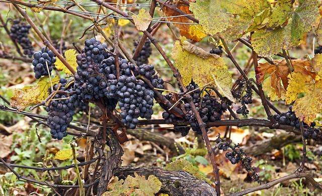 19 1363 - Marne, les vignes à Verzenay