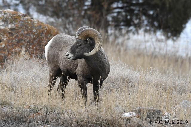 Bighorn ram on the Yellowstone River