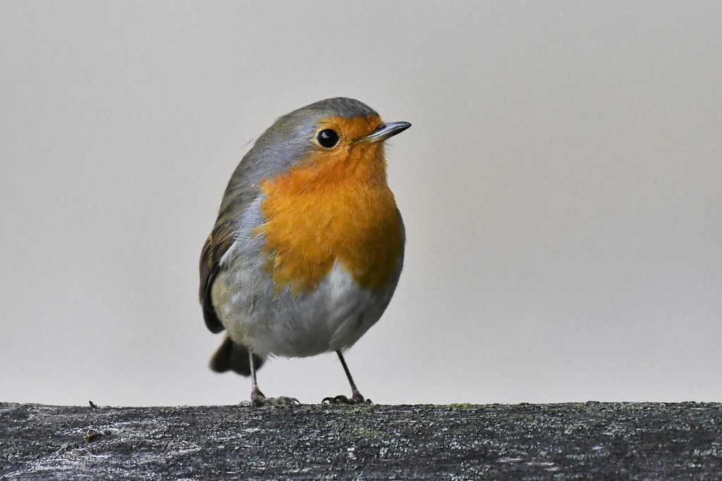 Rouge-gorge familier - Erithacus rubecula - European robin