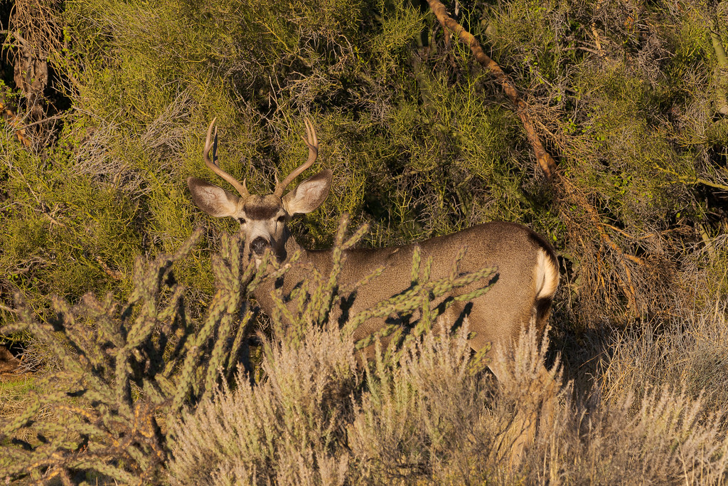 A mule's deer buck stands behind a buckhorn cholla on the Chuckwagon Trail in McDowell Sonoran Preserve in Scottsdale, Arizona in December 2019