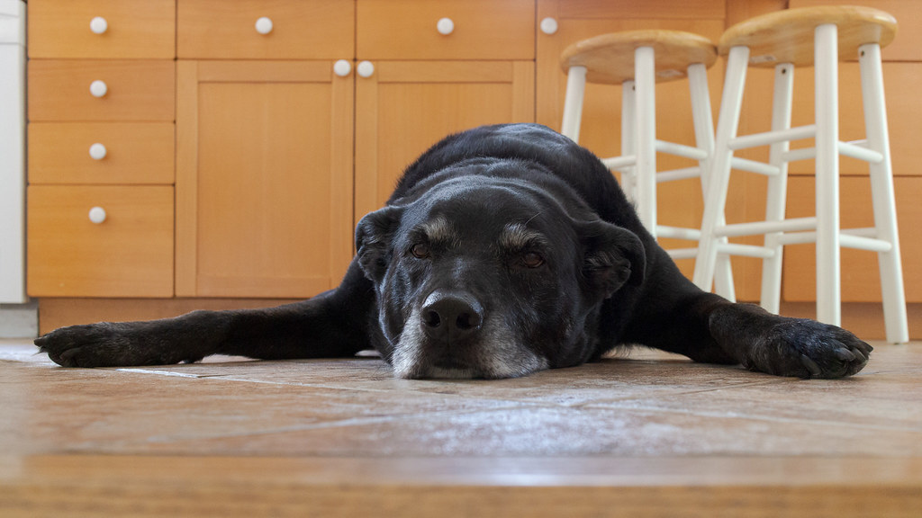 Our dog Ellie lays on the kitchen tile with her legs splayed out to her side in July 2013