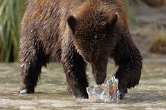 $500 Off 2: Katmai National Park IPT — Brown Bear Salmon Smackdown