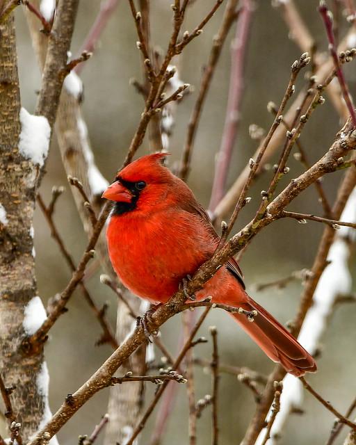 Cardinal-3808