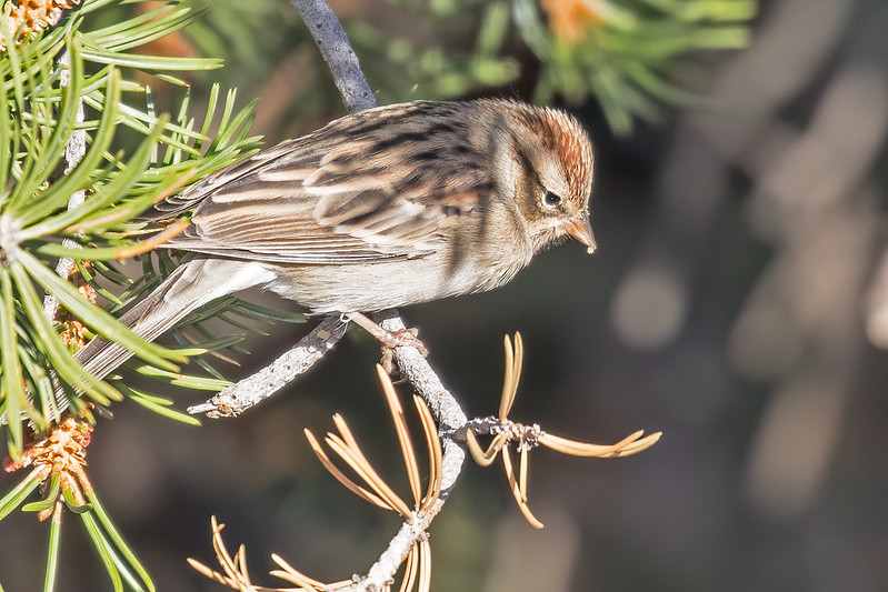 Chipping-Sparrow-52-7D2-093019