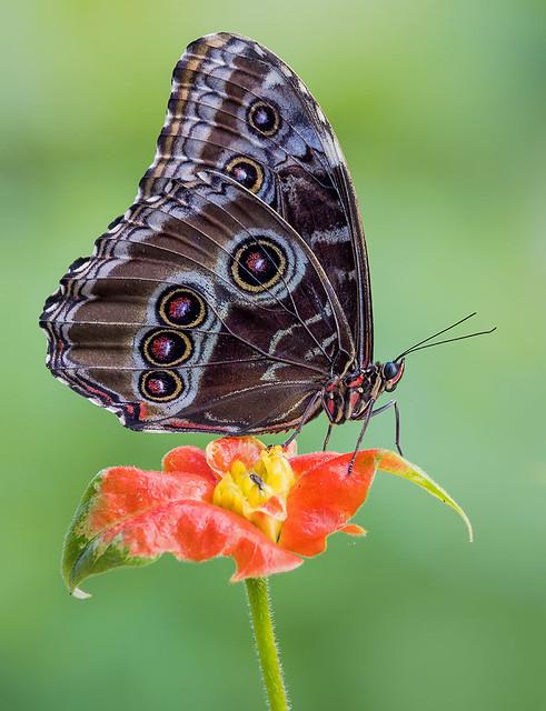 Blue Morpho Butterfly, Wings of the Tropics, Fairchild Tropical Botanic Garden.