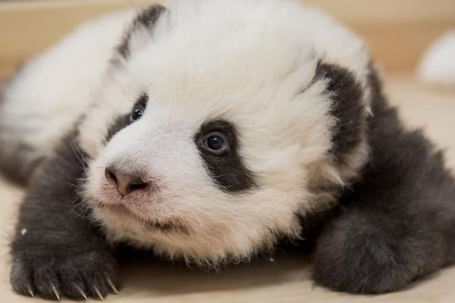 babypanda1