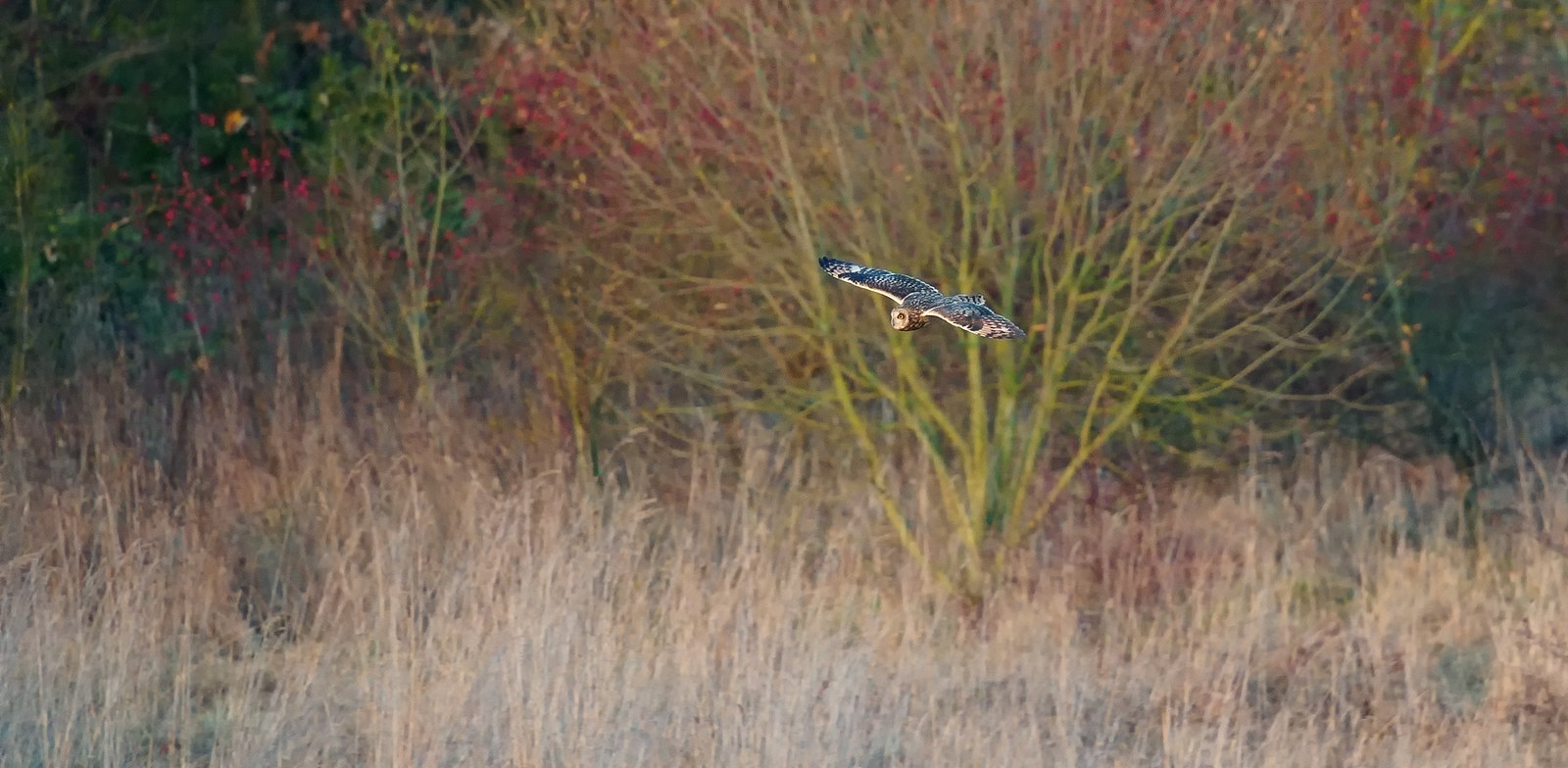 SE Owl/s - always distant, but interesting in the evening light...