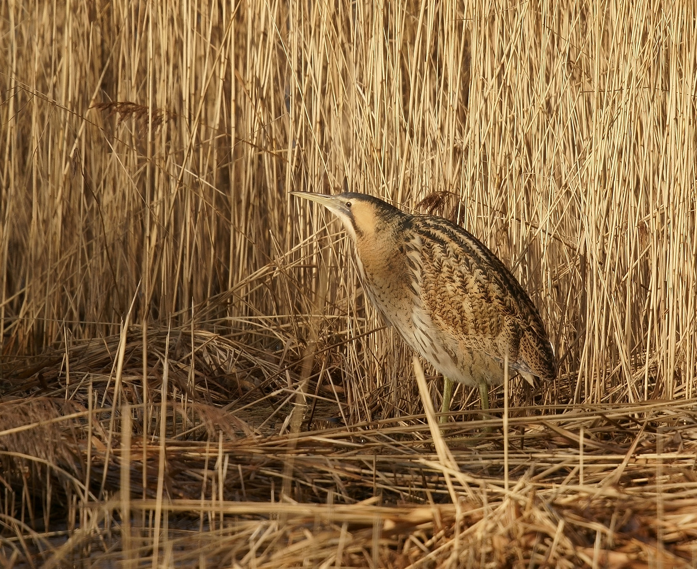 Bittern - always elusive and stealthy
