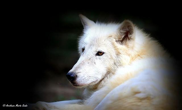 Portrait of a beautiful Arctic wolf (Canis lupus arctos) - Αρκτικός λύκος,  Sarki farkas