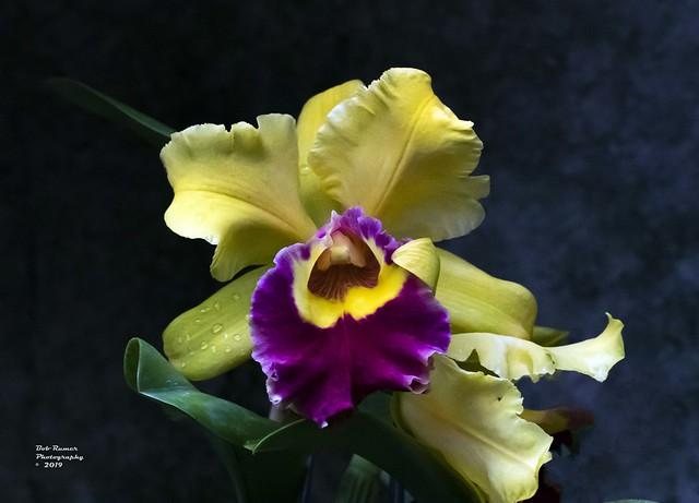 Orchid Yellow & Purple.