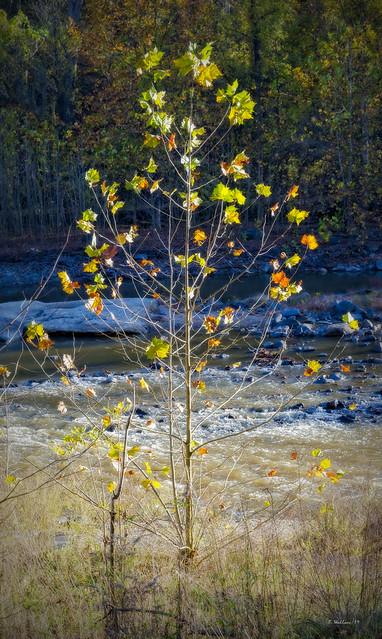 Brian_Patapsco St Pk Autumn Tree 1 LG_102819_2D