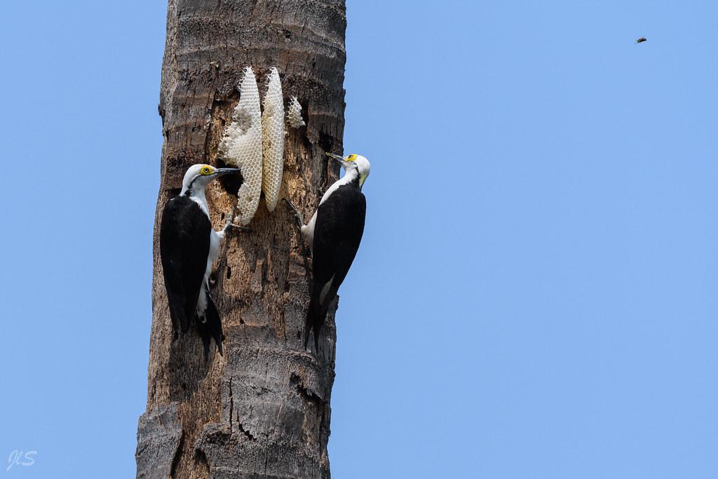 White Woodpeckers in a bees nest, Pics dominicains dans un nid d'abeilles