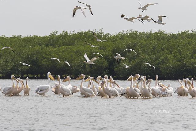 Pelicane Somone