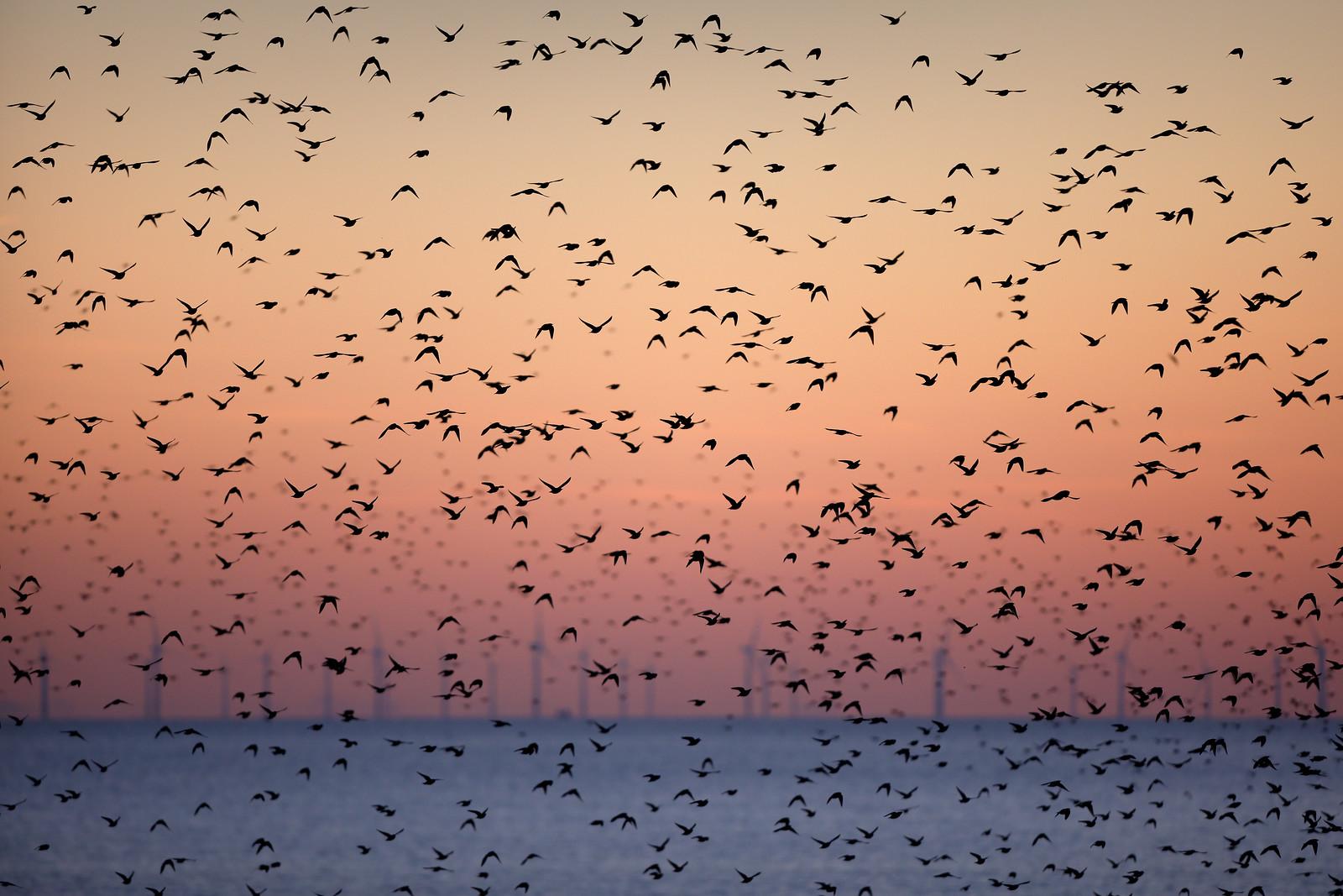 Starling Murmuration and Rampion Wind Farm