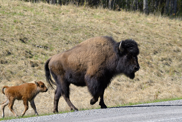 Mother & calf Wood Bison (Bison bison athabascae), Alaska Highway 97  -  (Selected by GETTY IMAGES)