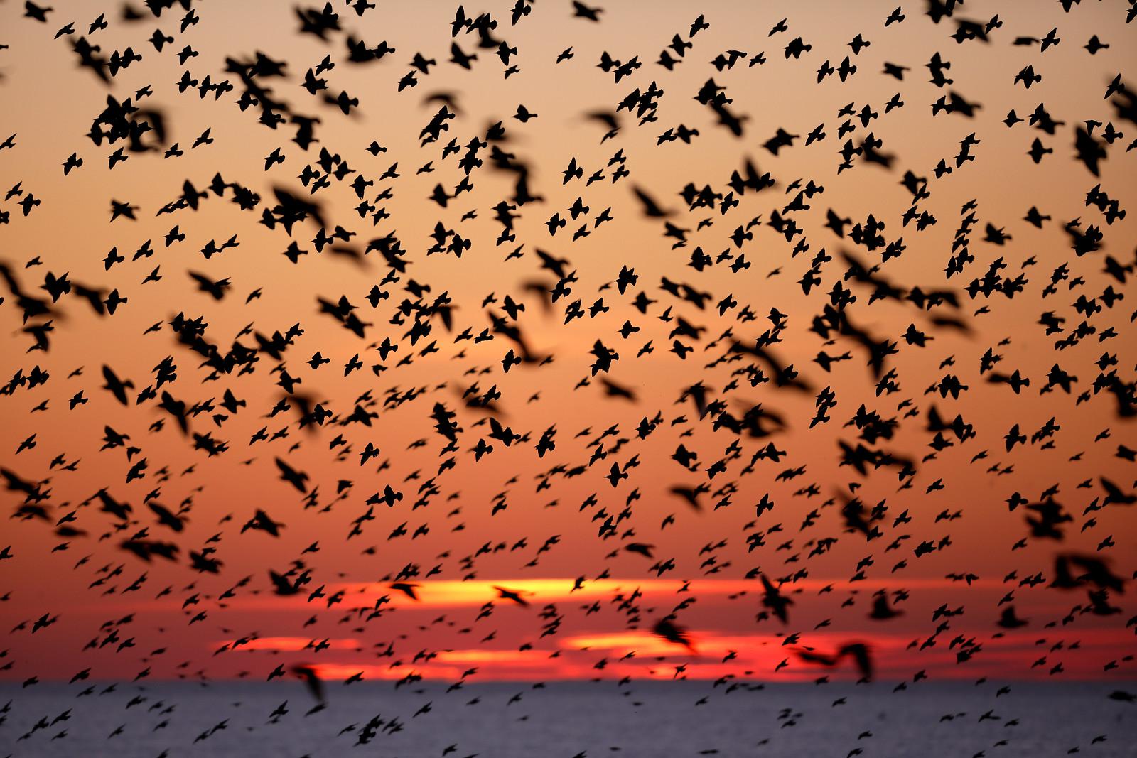 Murmuration Sunset