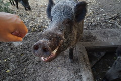 Smiling Boar