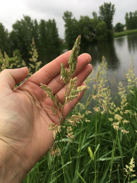 Reed Canary Grass (invasive)