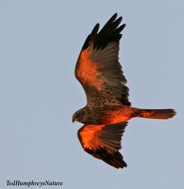 Marsh Harrier at sunrise, Ebro Delta