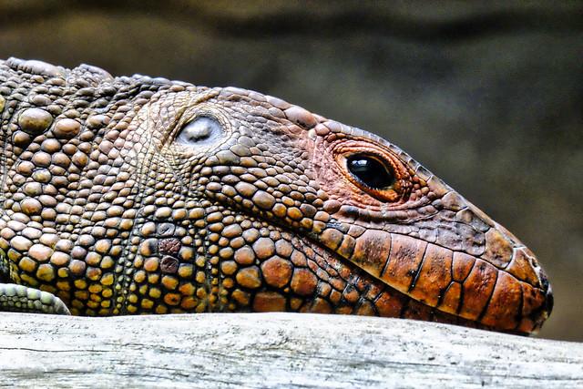 Caiman Lizard's head.