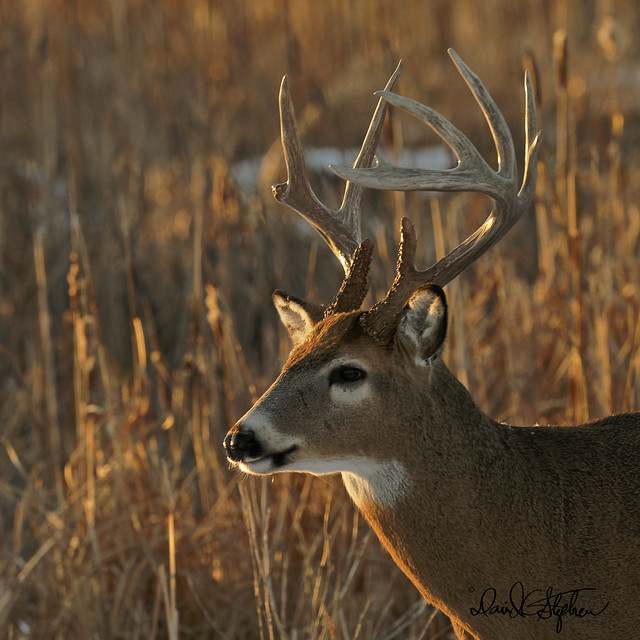 Big Buck Poses At Sunset