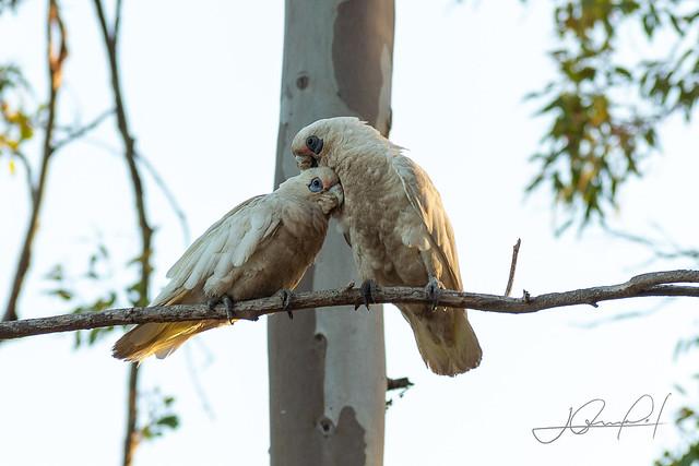 Cuddling white cockatoos
