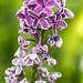 Lilac, 6.10.19