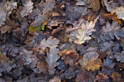 Autumn leaves, frosted, Donington and Albrighton Local Nature Reserve