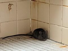 Pool Rat
