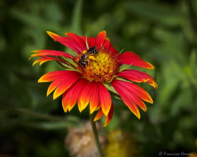 Halictus rubicundus nectaring on Blanketflower (Gaillardia pulchella)