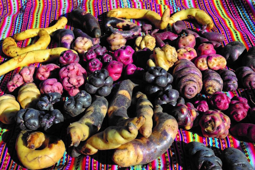 馬鈴薯多樣性有助於因應氣候變遷的挑戰。圖片來源:United Soybean Board(CC BY 2.0)