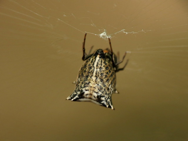 Spined Orbweaver