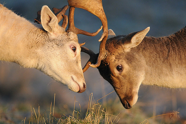 Duelling Bucks