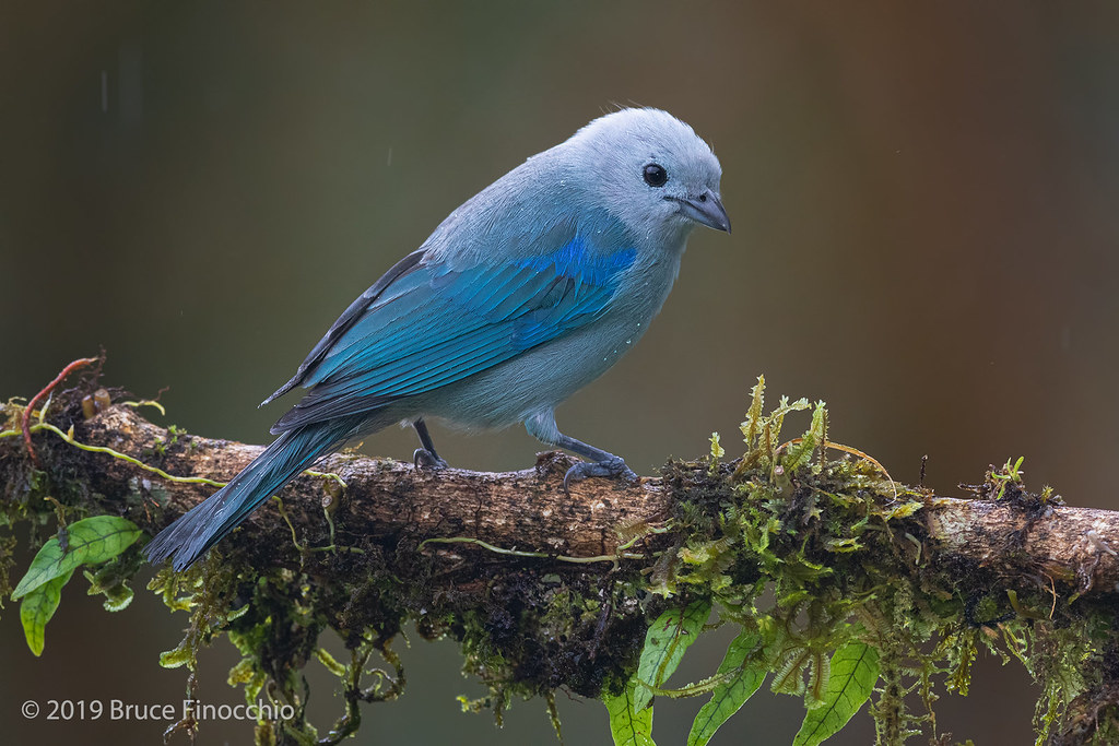 Blue-gray Tanager Perched On An Epiphyte Covered Branch During A Light Rain