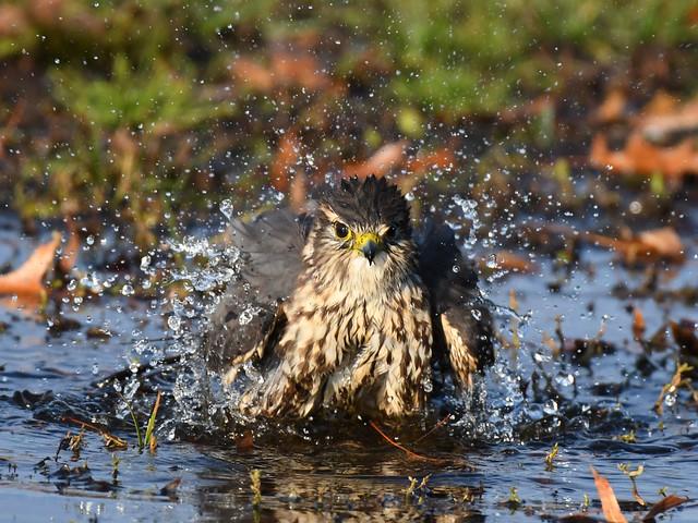Merlin bathing