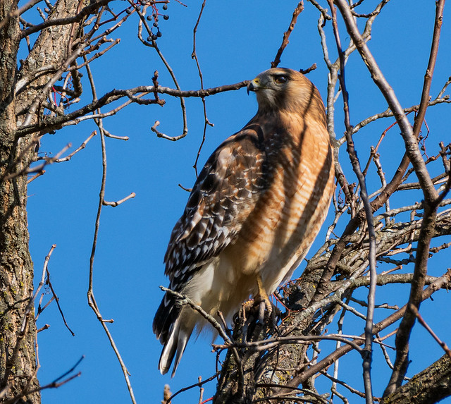 Red-Shouldered Hawk making the morning rounds at Times Beach.