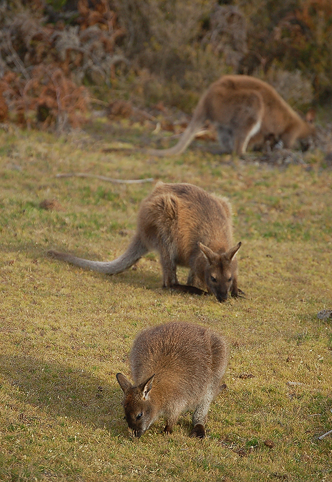 _Narawntapu_Tasmania_wallaby_2_