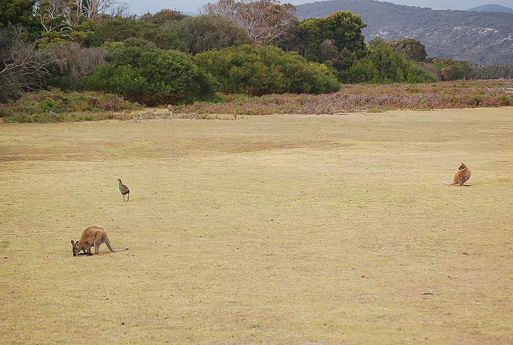 _Narawntapu_Tasmania_wallaby_1_