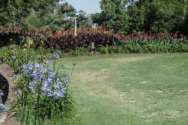 Agapanthus, Day, and Canna Lillies