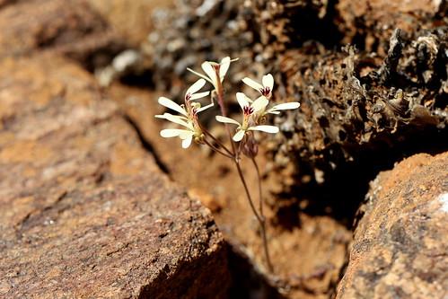 Pelargonium aridicola in habitat