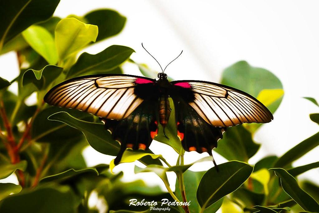 Papilio Memnon Agenor (Male)