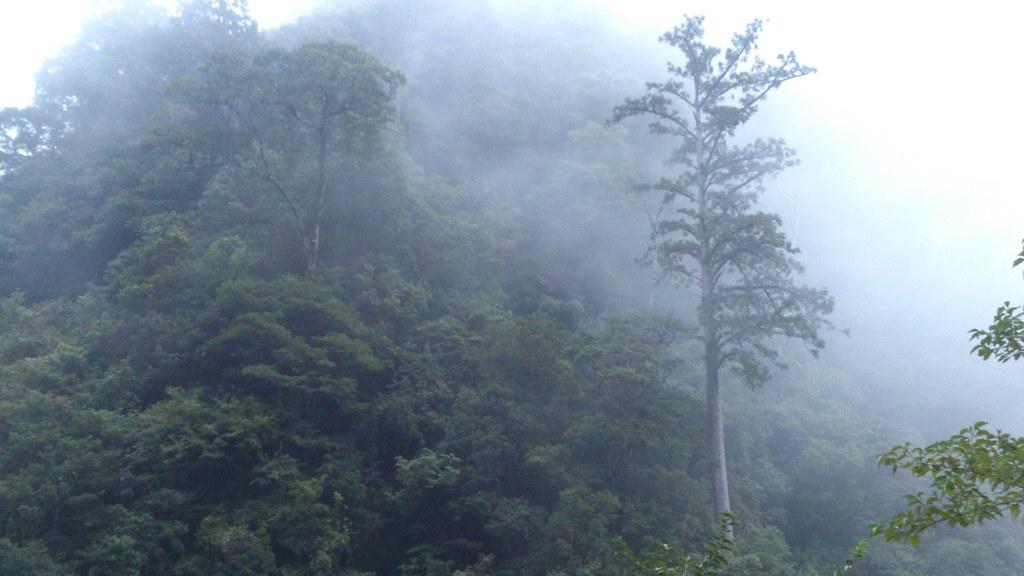 雲霧滋養的台灣杉避免過度水分喪失