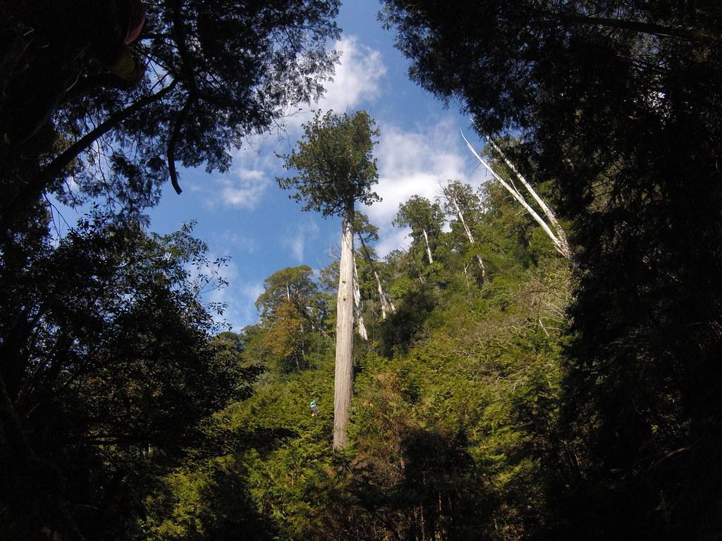 棲蘭67公尺高的台灣杉巨木--大白
