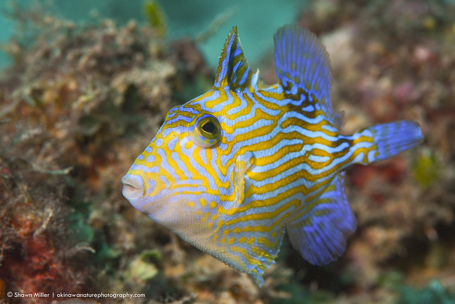 The blue triggerfish (Pseudobalistes fuscus)