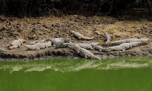 Convocation of Crocodiles