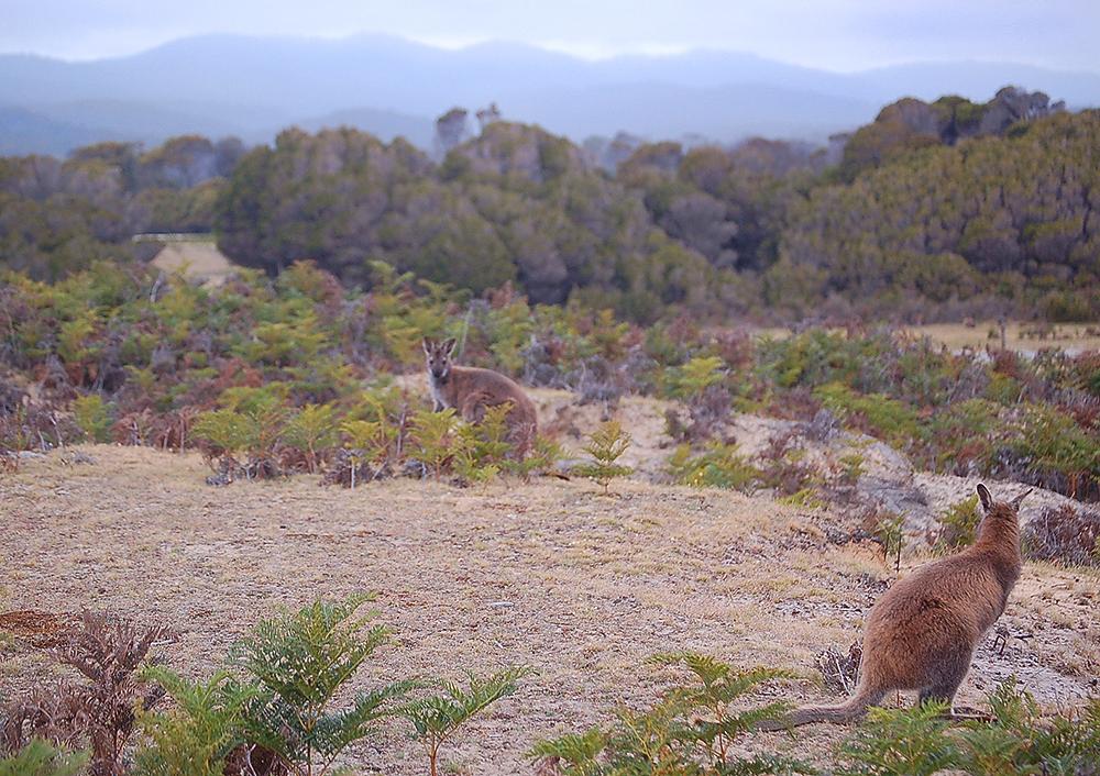 _Narawntapu_Tasmania_wallaby_7_